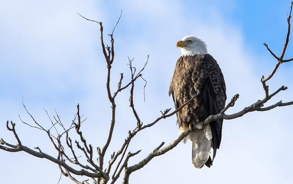 Фото обои небо, птица, ветка, белоголовый орлан