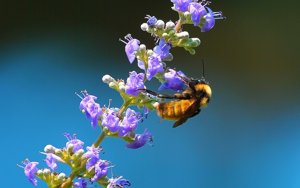 Фото обои цветок, растение, насекомое, шмель