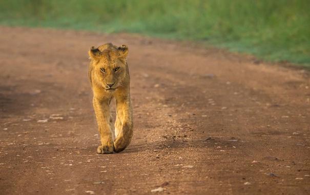 Фото обои львица, прогулка, хищник, дорога