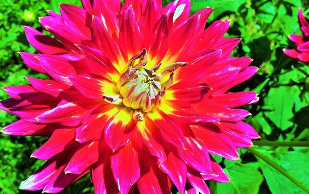 Фото обои цветок, макро, георгин