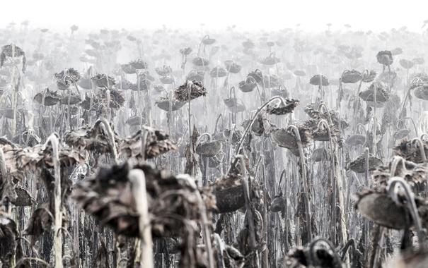 Фото обои осень, подсолнухи, туман