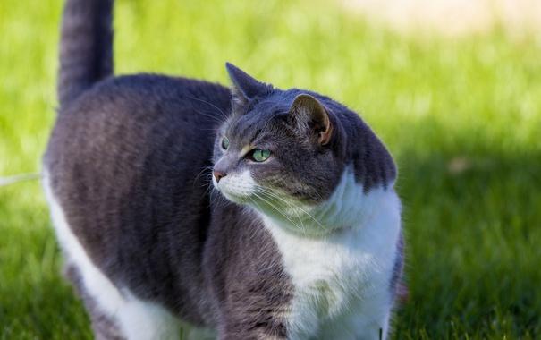Фото обои кот, взгляд, кошак, котяра