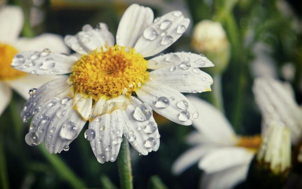 Фото обои цветок, капли, макро, природа, лепестки, ромашка