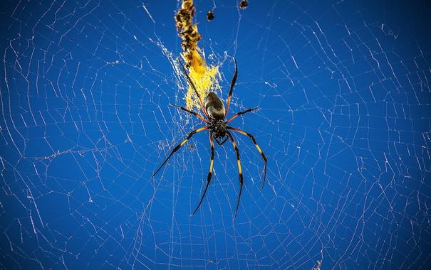 Фото обои природа, паутина, паук, насекомое, паучок