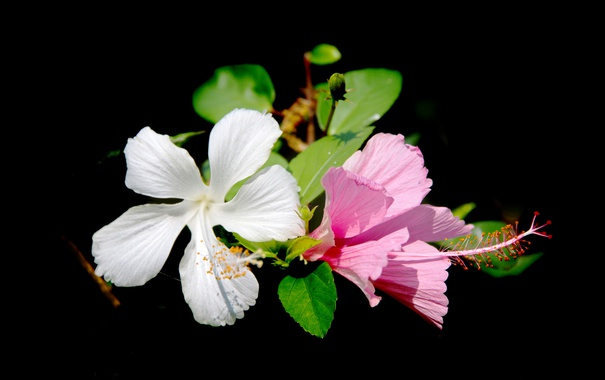 Фото обои листья, фон, лепестки, гибискус