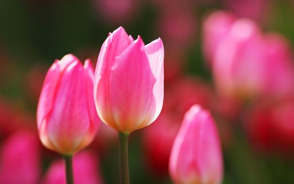 Фото обои природа, весна, лепестки, тюльпаны