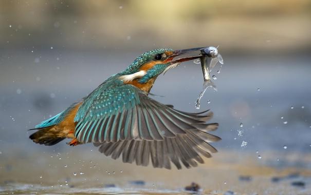 Фото обои вода, птица, рыба, зимородок, kingfisher, улов