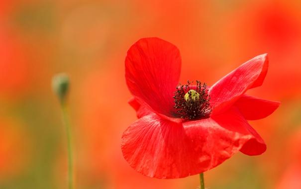Фото обои цветок, мак, размытость