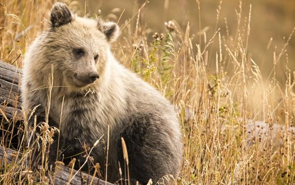 Фото обои природа, фон, медведь
