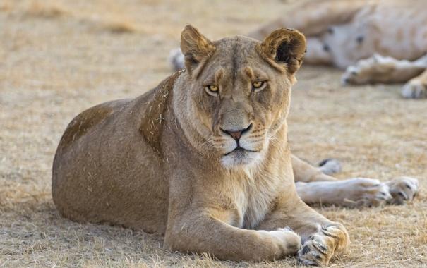 Фото обои кошка, львица, ©Tambako The Jaguar