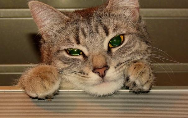 Фото обои кошка, глаза, кот, взгляд, морда, кошки