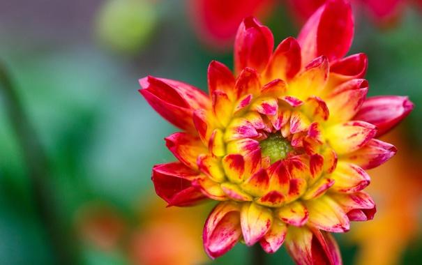 Фото обои цветок, макро, растение, лепестки, хризантема