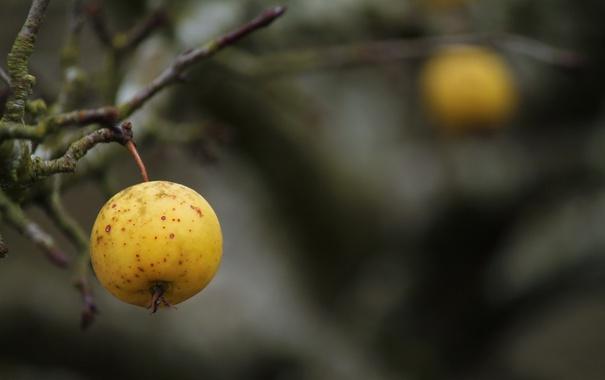 Фото обои осень, яблоко, ветка
