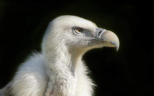 Фото обои хищник, Vulture, Белоголовый сип