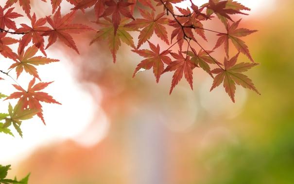 Фото обои осень, листья, ветки, клен, багряный