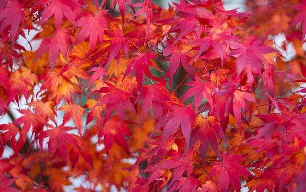 Фото обои осень, листья, макро, клен, багрянец
