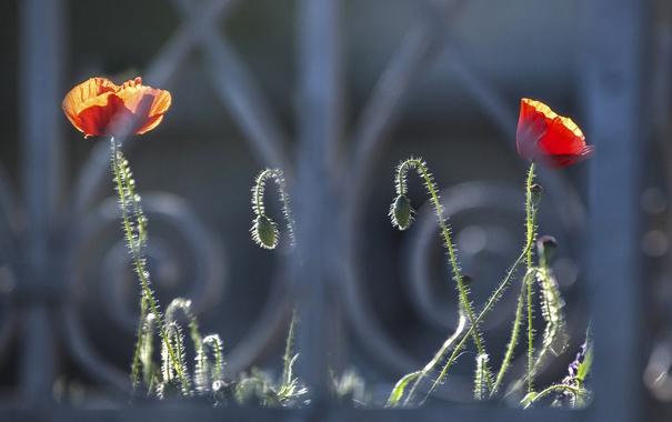 Фото обои цветы, забор, маки, решетка