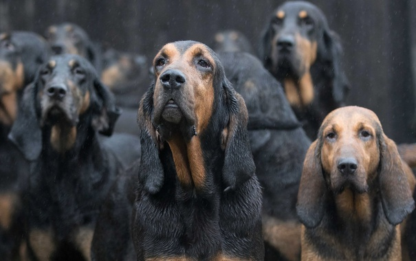 Фото обои собаки, дождь, East Anglian Bloodhounds