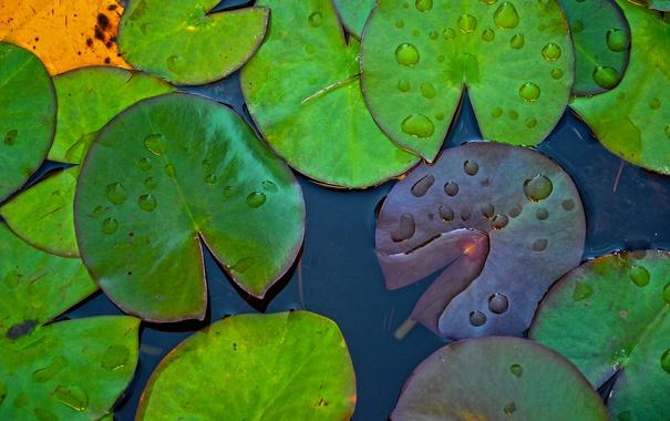 Фото обои листья, капли, макро, водоем