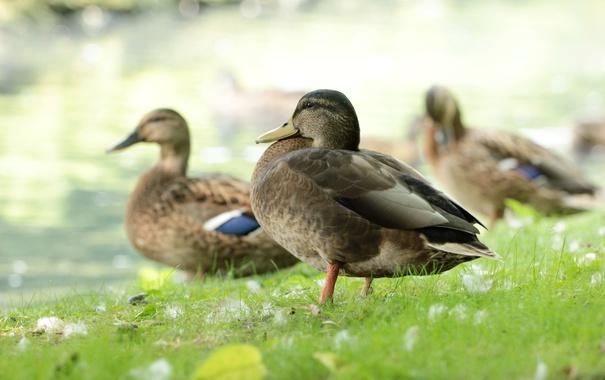 Фото обои трава, утки, перья