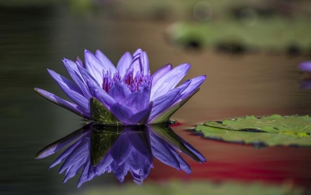 Фото обои озеро, лепесток, водяная лилия