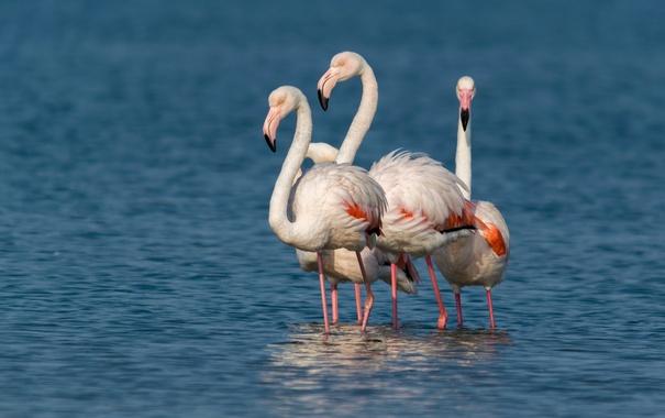 Фото обои фламинго, компания, птицы