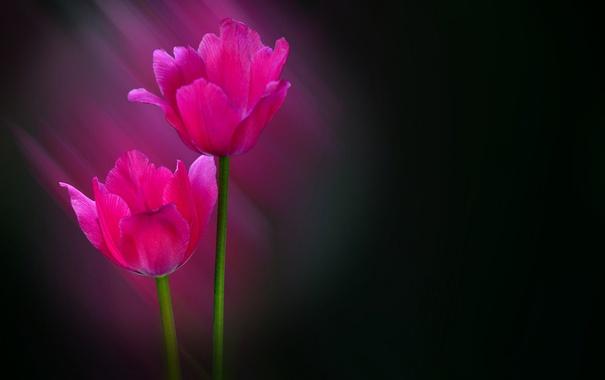 Фото обои лучи, лепестки, стебель, тюльпаны