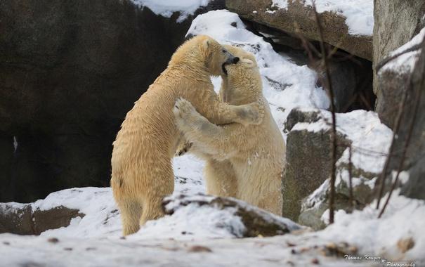 Фото обои зима, снег, скалы, игра, хищники, борьба, драка