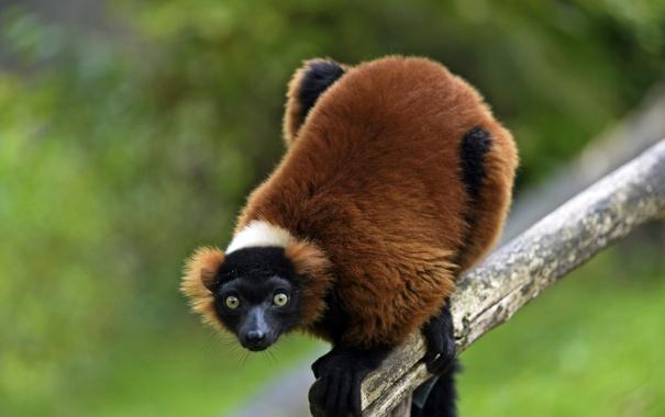 Фото обои взгляд, лемур, примат, вари