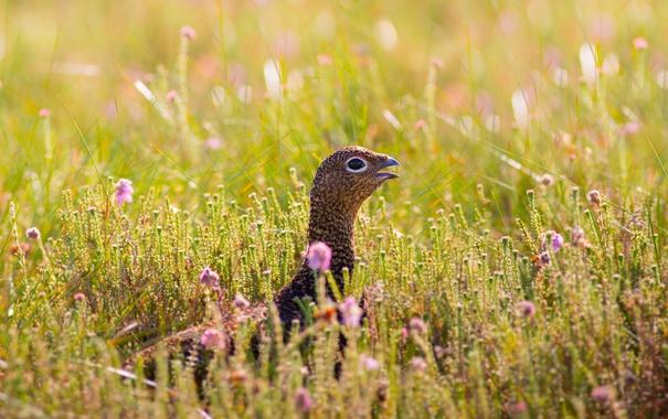 Фото обои лето, птица, луг, вереск, красная куропатка