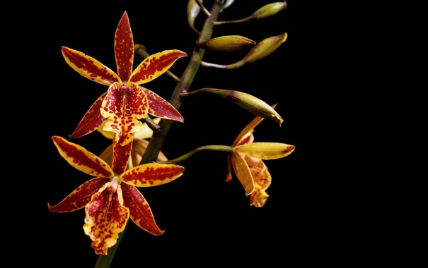 Фото обои цветок, макро, яркий, темный фон, ветка, орхидеи, пестрый