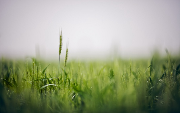 Фото обои поле, природа, колосья