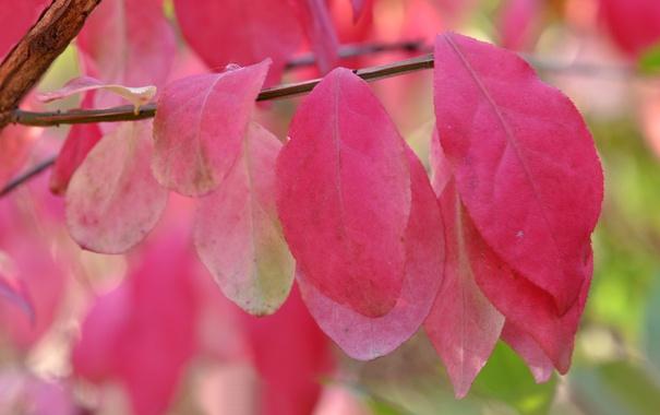 Фото обои осень, листья, макро, ветка, багрянец