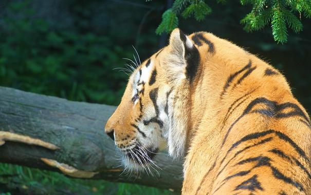 Фото обои полоски, тигр, хищник, профиль