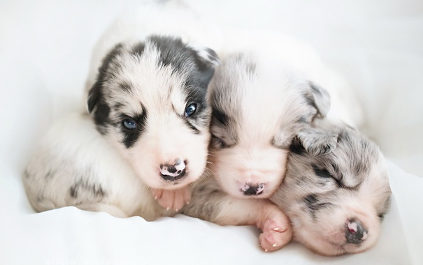 Фото обои фон, собаки, щенки