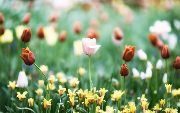Фото обои цветы, розовый, лепестки, тюльпаны, красные, много