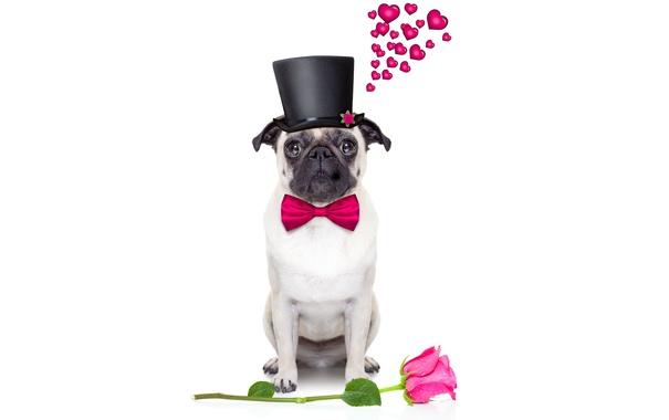 Фото обои собака, love, rose, heart, dog, romantic, funny
