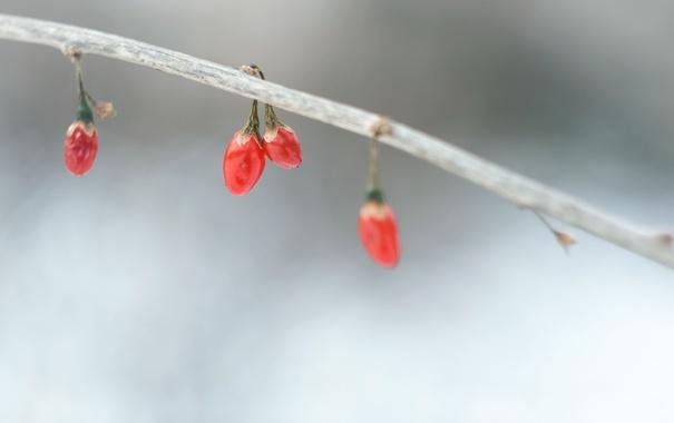 Фото обои осень, природа, ягоды