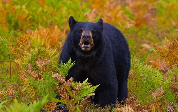 Фото обои мишаня, мишка, медведь, ягоды, трава