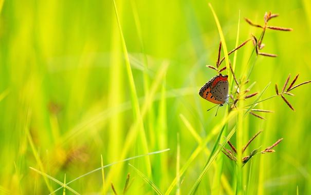 Фото обои трава, бабочка, растения, колосья