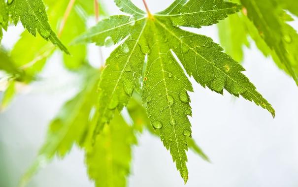 Фото обои капли, природа, лист