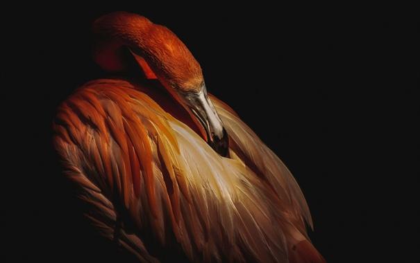 Фото обои темный фон, птица, перья, клюв, фламинго