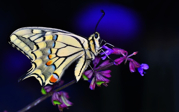 Фото обои бабочка, цвеок, макро