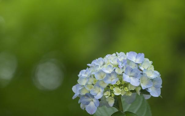 Фото обои цветок, фиолетовая, гортензия