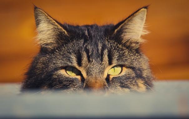 Фото обои кот, глаза, котяра, кошак, взгляд
