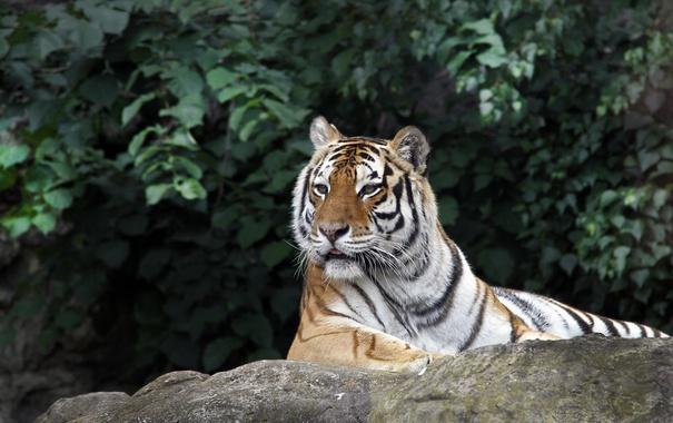 Фото обои животное, животные, хищник, камень, листья, тигр, зелень