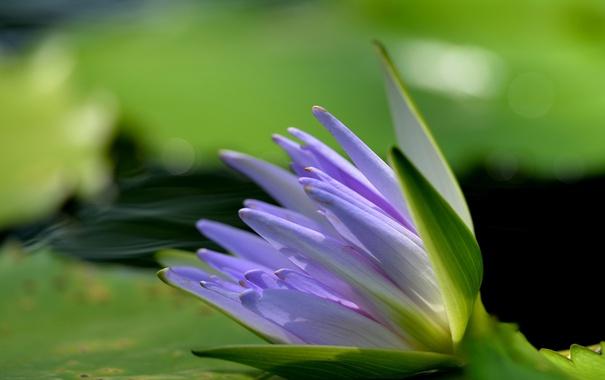 Фото обои the lake, water lilies, водяные лилии, озеро, flowers, цветы