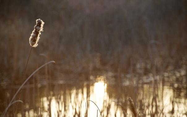 Фото обои растение, колосок, водоём, размытие, стебель, золотой, свет