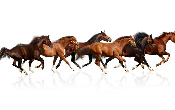 Фото обои отражение, кони, лошади, белый фон, коричневые, табун, скачут