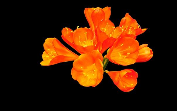 Фото обои цветок, фон, лепестки, экзотика, соцветие